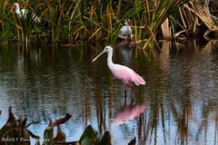 Roseate Spoonbill (Glotzsee) Tags: nature florida indianrivercounty verobeach outdoors outside glotzsee glotzseefloridaimages wildlife bird birds spoonbill roseatespoonbill