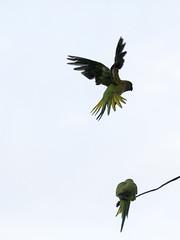(Adisla) Tags: olympus em1 zuiko 150mm f2 ec14 ave volar cotorra kramer collar