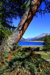 Herbst am Silvaplanersee (barbarasteinemann) Tags: silvaplanersee maloja bergsee herbst oberengadin engadin suisse schweiz graubünden silvaplana