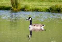 Goose (jamiebhannigan) Tags: goose geese gosling goslings wildlife canadagoose canadiangoose canadiangeese babies mothergoose pond water fowl