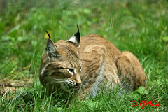 Eurasischer Luchs (Geralds-Raubtiere) Tags: eurasischerluchs tiergartennürnberg