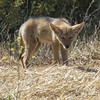 Lil Coyote Pup (Beth Sargent) Tags: coyote young pup nature wildlife animal mammel canislatrans carnavor predator droh dailyrayofhope