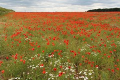 Poppies A1077 Scunthorpe 25th June 2017 (2) (asdofdsa) Tags: flowers poppies red windturbine windfarm clouds outdoor fields rememberance lestweforget