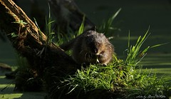 Musky... (don.white55 plunging headlong.) Tags: muskratondatrazibethicus wildwoodlake wildwoodpark wildlife harrisburgpennsylvania habitat harrisburgwildlife rodent nature young canone0s7od canoneos70dtamronsp150600mmf563divcusda011 canon tamronsp150600mmf563divcusda011 tamron marsh mossy latedaylight magichour