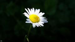 Clair-obscur (YᗩSᗰIᘉᗴ HᗴᘉS +6 500 000 thx❀) Tags: flower daisy clairobscur pâquerette fleur macro hensyasmine