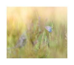 Silver studded blue on the heath (catkin314) Tags: silverstuddedblue plebejusargus butterfly heathland 15minutesfromhome bluebutterfly summertime eveningwalk wwwcathrynbaldockphotographycom