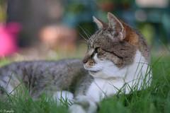 Minet au jardin (Mystycat =^..^=) Tags: minetthecat cat chat kitty katze gato gatto animal animaldecompagnie félin feline sunrays5 coth5