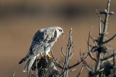 Snack Time! (hyu767) Tags: kite wtk whitetailedkite