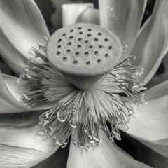 lotus seeds flower flora nature pond closeup huaweimate9... (Photo: tomquah on Flickr)