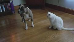 20170605_190719 (Craig Knapp Photographer) Tags: americanpitbullterrierplayswithcat americanpitbullterrier pitbull