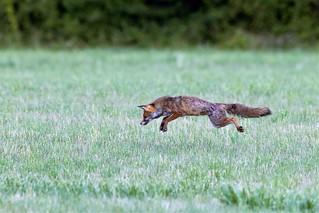 Saut du renard