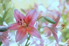 Passion in Pink (cindyz48) Tags: lily bokeh pink flower garden plant softfocus soft