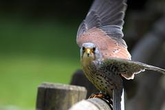 Dancer (Nephentes Phinena ☮) Tags: commonkestrel nikond500 sigma70300mmmacro turmfalke wildparkeekholt falconry falknerei birds