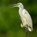 Whiter Shade of Pale   (Explore 26 June 2017) (Duncan Blackburn) Tags: 2013 botswana chobe egret bird little kasane nikon nature wildlife