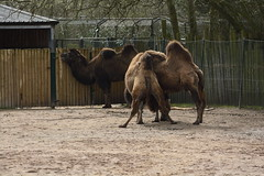 Chester Zoo (208) (rs1979) Tags: chesterzoo zoo chester asiansteppe bactriancamel