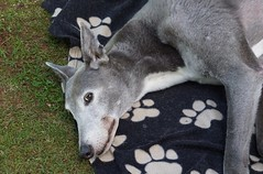 Tac once Blue Tac, a racing greyhound (quietpurplehaze07) Tags: preciouspets smileonsaturday tac greyhound tim
