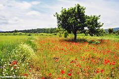 colores del campo (tonomf) Tags: colores amapolas margaritas rojo blanco verde azul paisaje eltoro castellón españa spain naturaleza nature landscape nikon nikond5100