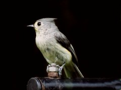 Tufted Titmouse (Photos by the Swamper) Tags: birds tuftedtitmouse