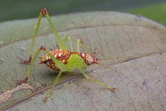 "_Z2A7680 katydid nymph • <a style=""font-size:0.8em;"" href=""http://www.flickr.com/photos/77246694@N00/35233543536/"" target=""_blank"">View on Flickr</a>"