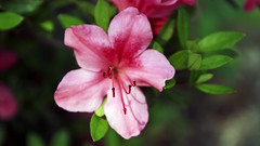 Rhododendron (Johnnie Shene Photography(Thanks, 2Million+ Views)) Tags: azalea pink single one flower flora floral flowering plant stamen petal petals corolla corollas depthoffield bokeh bloomed bloom inbloom spring day frontview nature natural wild wildlife livingorganism tranquility adjustment interesting awe wonder fulllength foregroundfocus stockphoto stunning fabulous gorgeous elegance photography horizontal outdoor colourimage fragility freshness nopeople shadow leaf bright luminosity vibrant ericaceae pentanthera canon eos600d rebelt3i kissx5 sigma 1770mm f284 dc macro lens 진달래 꽃 봄 봄꽃 철쭉 rhododendron