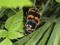 Carrion Beetle - Nicrophorus vespillo (Prank F) Tags: holmefen greatfen nationaltrust huntingdonuk wildlife nature insect macro closeup beetle carrion burying nicrophorusvespillo