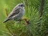OPNI  ---   juvénile (Jacques Sauvé) Tags: opni objet juvénile perché non identifié grg oiseau bird ovni ufo je pense vacher à tête brune brownheaded cowbird vaquero cabecicafé