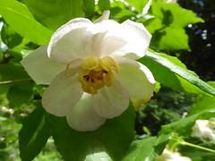 Sinocalycanthus chinensis (Linda DV (away)) Tags: lindadevolder plantentuin nationalbotanicgardenofbelgium 2017 nature geotagged garden belgium meiseplantentuin meise panasonic lumix ribbet sinocalycanthuschinensis calycanthaceae whiteflower white flower fleur bloem flor flora