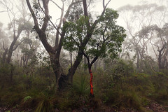 Red Tree (Colin_Bates) Tags: blackheath blue mountains fog foggy winters day red tree nsw