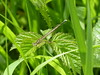 White-legged Damselfly - Platycnemis pennipes (David in Chippenham) Tags: whiteleggeddamselfly platycnemispennipes damselfly insect uk england wiltshire dld may 2017