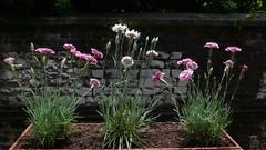 Oeillets à ma fenêtre (jeanlouisallix) Tags: oeillets plantes fleurs nature jardinage balcon