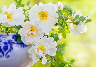 White roses in a bowll.