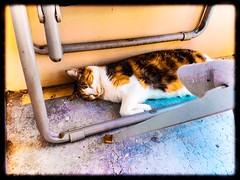 Mimi dort (freddylyon69) Tags: sieste ete chaleur lyon monchat animauxdomestique balcon mimi animals cat chat