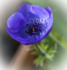 Just a Touch of Purple (Jocey K) Tags: newzealand nikond750 southisland christchurch anemone flower