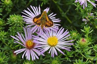 Pretty Skipper Butterfly on Wildflowers