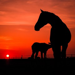 Brinda's Horses - 3 a (Drummerdelight) Tags: horse sunset eveninglight foal shillouettes into sun sunlight intothesun sunlightset