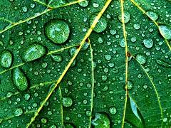 Zellstruktur oder Lebenslinien. (Wallus2010) Tags: blatt wassertropfen grün linse zellen chlorophyll lupe nahaufnahme makro