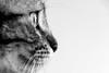 Minù (GE) (Ondablv) Tags: le chat minù micio cat felino gatto gatta gattona gattone micione miciona miao cats portrait ondablv gatti mici felini animale buffo simpatici simpatico animali black white bianco nero occhio eyes fuoco focus trasparente sguardo