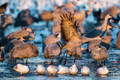Sandhill Crane (Manuel ROMARIS) Tags: bosquedelapache sandhillcrane newmexico national wildlife usa refuge reserve
