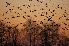 Murmuration-6 (Odd Wellies) Tags: hamwall murmuration starlings