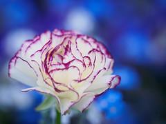 You look so beautiful tonight (Karsten Gieselmann) Tags: 40150mmf28 blau blumen blüten em5markii farbe frühling jahreszeiten mzuiko microfourthirds natur olympus pflanzen rot weis blossom blue color flower kgiesel m43 mft nature red seasons spring white nelke carnation