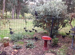 Choughs, magpies and Currawongs (spelio) Tags: cracticines corvidae chough