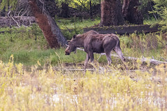 Moose in the Lamar Valley
