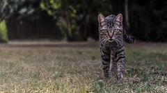 Tiger (simotringali) Tags: cat tiger garden house home chieri gatto tigre felino turin italian italy animals animal pet pets catlike feline nature green sight beautiful colorful handsome nice cool good catphotos a7s alpha7s sonyalpha7s sonya7s sony camera lens 2470 zeiss sguardo face boy cold