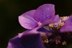 DPP_2845 (okiee8125) Tags: あじさい アジサイ 紫陽花 hydrangea 花 flower 紫 purple