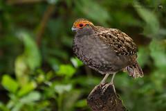 uru / Odontophorus capueira - Joinville - 21-06-15