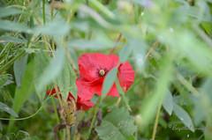 """Comme s'il voulait se faire discret, mais... fausse modestie. (Brigitte .. . """"Tatie Clic"""") Tags: 2013062217 juin été fleur floresauvage coquelicot herbe vert verdure rouge flou bokeh"""