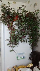 Tradescantia zebrina & fulminensis on top of fridge on 1st day of summer 2017  21st June 2017 (D@viD_2.011) Tags: tradescantia zebrina fulminensis top fridge 1st day summer 2017 21st june