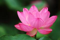 Lotus (Teruhide Tomori) Tags: japon japan kyoto nature summer flower lotus 夏 京都 花 ハス 日本 東寺 教王護国寺 toji pond