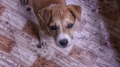 Mango (richard_fernando) Tags: pet beauty eyes look animal innocent cute friend puppy mango dog