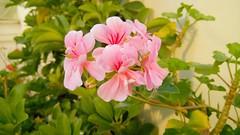 (bamdadnorouzian) Tags: garden leafs summer beautiful nature pink flowers
